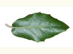 Holm oak - Quercus ilex 7