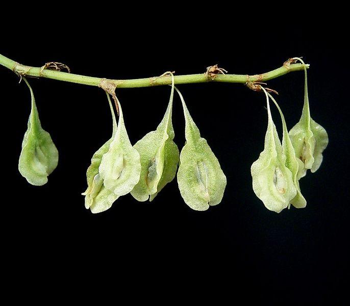 Russian-vine - Fallopia baldschuanica 15