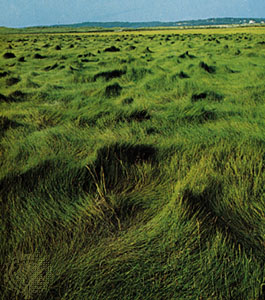 Cordgrasses_- Spartina meadow_2