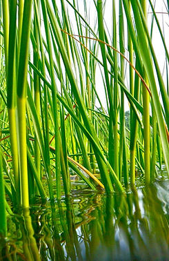 Cordgrass - Spartina Stems