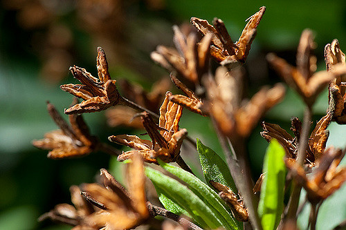 Rhododendron_-Rhododendron_ponticum9