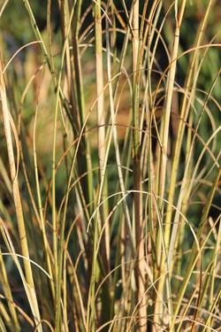 Pampas grass - Cortaderia selloana 32
