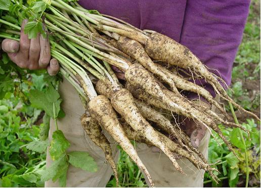 Wild parsnip - Pastinaca sativa 2
