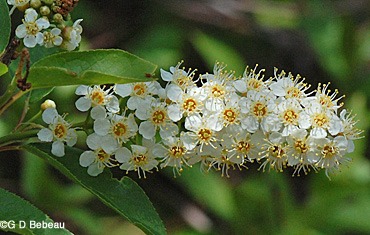 Rum cherry - Prunus serotina 14