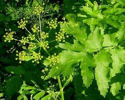 Wild parsnip - Pastinaca sativa 1