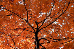 Red oak - Quercus rubra 25