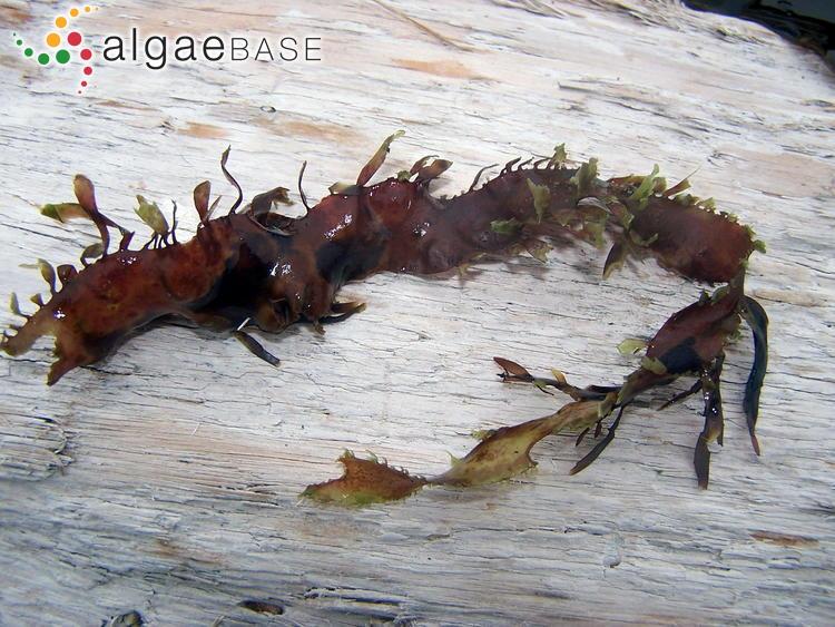 Red Alga - Grateloupia doryphora (15)