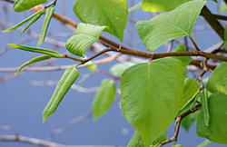 Japanese_Knotweed_-Fallopia_japonica_Leaf_2