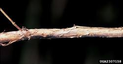 Japanese honeysuckle - Lonicera japonica 29