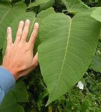 Giant Knotweed leaf