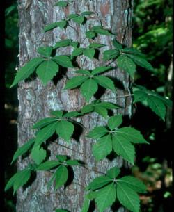 Virginia-creeper - Parthenocissus quinquefolia 30
