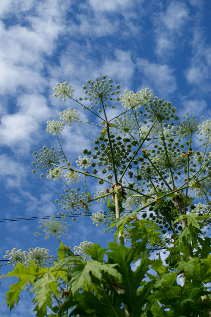 Giant Hogweed - Heracleum mantegazzianum Flower 5