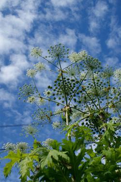 Giant Hogweed - Heracleum mantegazzianum Flower 5