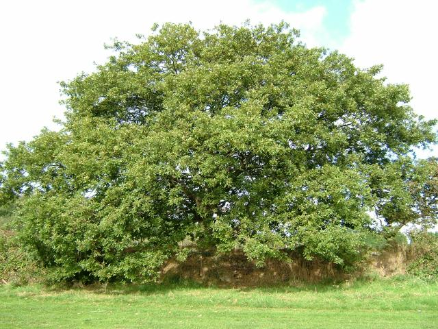 Turkey oak - Quercus cerris 24