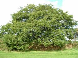 Turkey oak - Quercus cerris 24