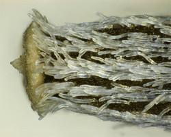 Narrow-leaved ragwort - Senecio inaequidens 7