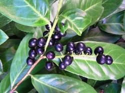 Cherry Laurel - Prunus laurocerasus 17