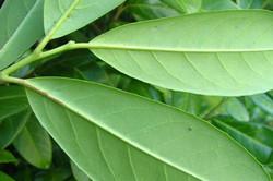 Cherry Laurel - Prunus laurocerasus 24