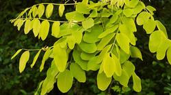 False acacia - Robinia pseudoacacia 42