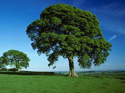 Sycamore - Acer pseudoplatanus 38