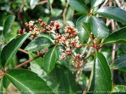 Virginia-creeper - Parthenocissus quinquefolia 26