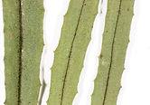 Clover broomrape Biodiversity Medium Risk Invasive Species 14
