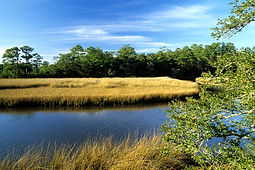 Cordgrass - Spartina