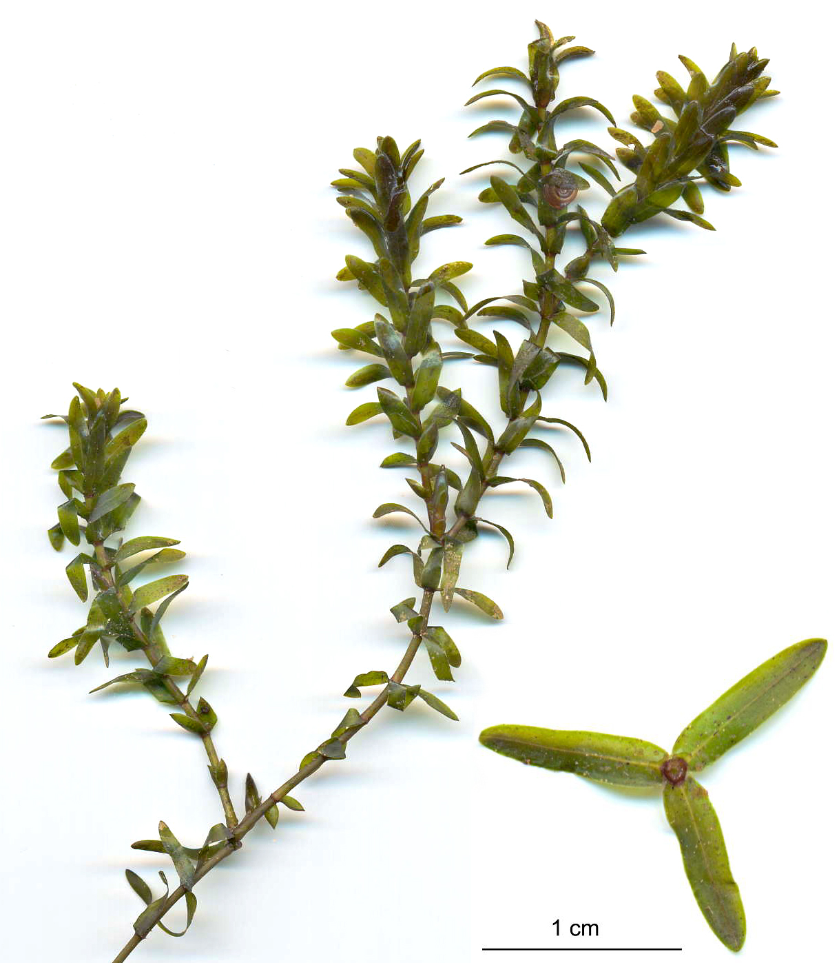 Canadian waterweed - Elodea canadensis 7