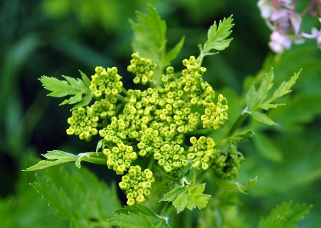 Wild parsnip - Pastinaca sativa 48