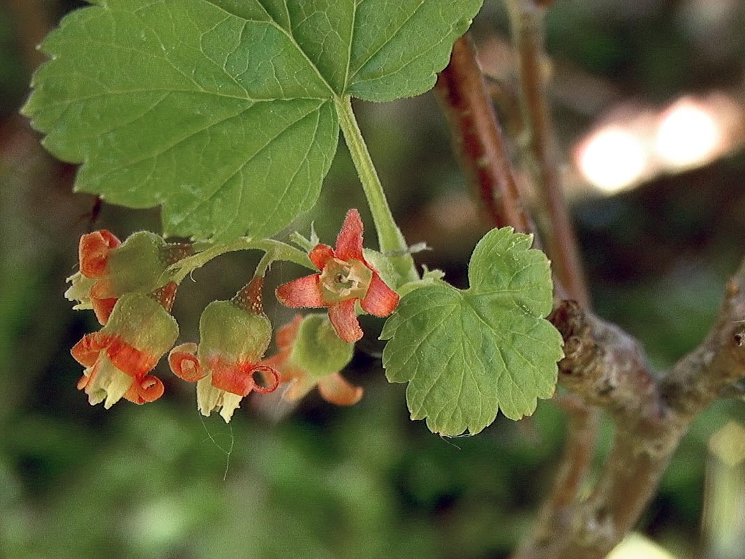 Black currant - Ribes nigrum 5