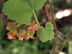 Black currant - Ribes nigrum 5