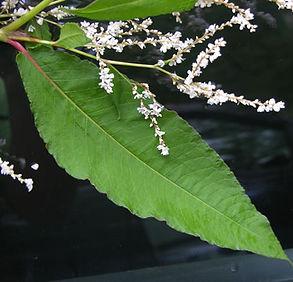 Himalayan Knotweed - (Persicaria wallichii) Flowers and Leaves