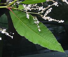 Himalayan Knotweed Leaf nd Flower