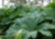 Brazilian Giant-rhubarb Leaf