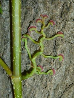 Virginia-creeper - Parthenocissus quinquefolia 32