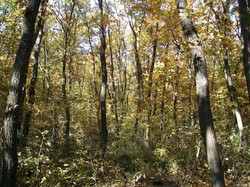 Turkey oak - Quercus cerris 2