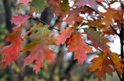 Red oak - Quercus rubra 30