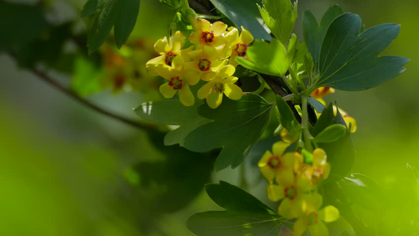 Barberry - Berberis vulgaris 2