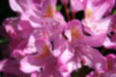Rhododendron - Rhododendron ponticum Flower Petals