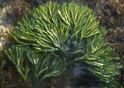 Dead man's fingers - Codium fragile ssp. tomentosoides 3