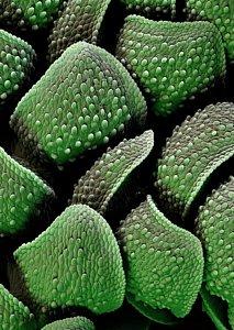 Water fern - Azolla filiculoides 21