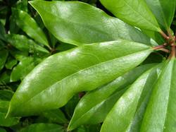 Rhododendron_-Rhododendron_ponticum46
