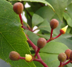 Virginia-creeper - Parthenocissus quinquefolia 6