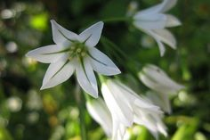 Three-Cornered_Leek_- Allium_triquetrum_9