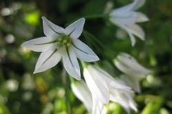 Three-Cornered_Leek_-Allium_triquetrum_9