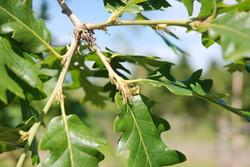 Turkey oak - Quercus cerris 8
