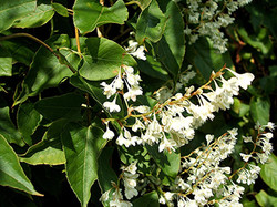 Russian-vine - Fallopia baldschuanica 38
