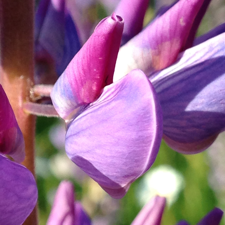 Garden lupin - Lupinus polyphyllus 35