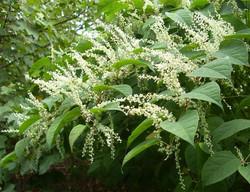 Japanese_Knotweed_-Fallopia_japonica_flowers
