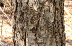 Douglas fir - Pseudotsuga menziesii 26